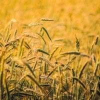 Pšenica a jej ošetrovanie