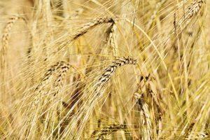 Pšenica a repka olejná sú u nás známe